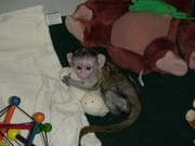 HDS54 males and females Capuchin pygmy marmoset available 07031964582